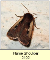 Flame Shoulder, Ochropleura plecta