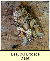Beautiful Brocade, Lacanobia contigua