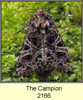 The Campion, Hadena rivularis