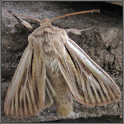Shoulder-striped Wainscot, Mythimna comma