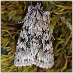 Early Grey, Xylocampa areola
