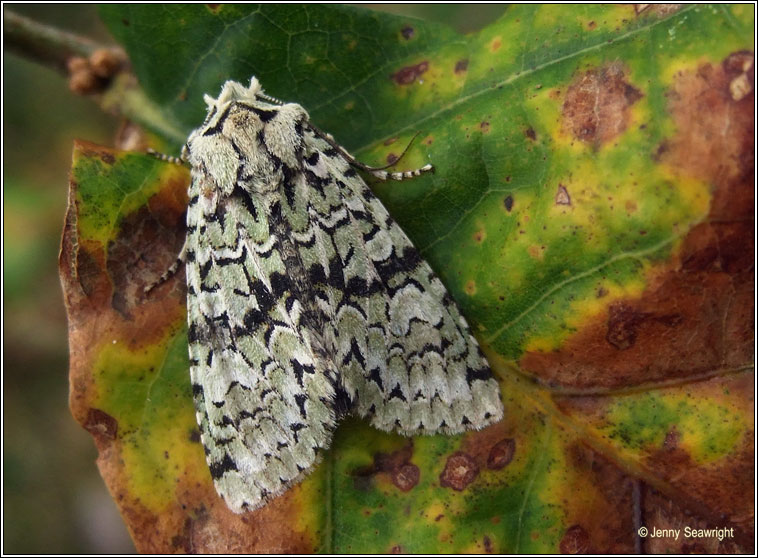 irish moths merveille du jour dichonia aprilina. Black Bedroom Furniture Sets. Home Design Ideas