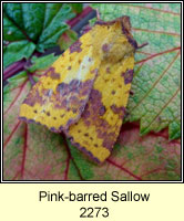Pink-barred Sallow, Xanthia togata
