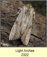 Light Arches, Apamea lithoxylaea