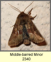 Middle-barred Minor, Oligia fasciuncula