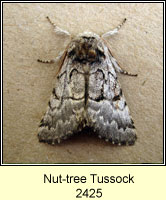 Nut-tree Tussock, Colocasia coryli
