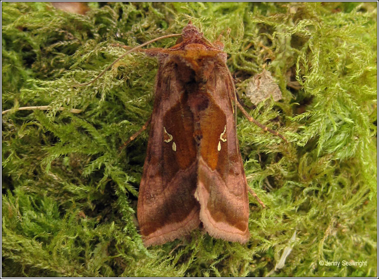 Plain Golden Y, Autographa jota