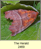 The Herald, Scoliopteryx libatrix