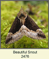 Beautiful Snout, Hypena crassalis